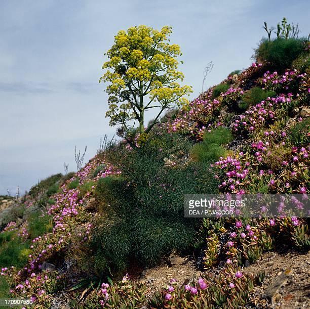 Elands Sourfig and Giant fennel Caprera Island La Maddalena Archipelago National Park Sardinia Italy