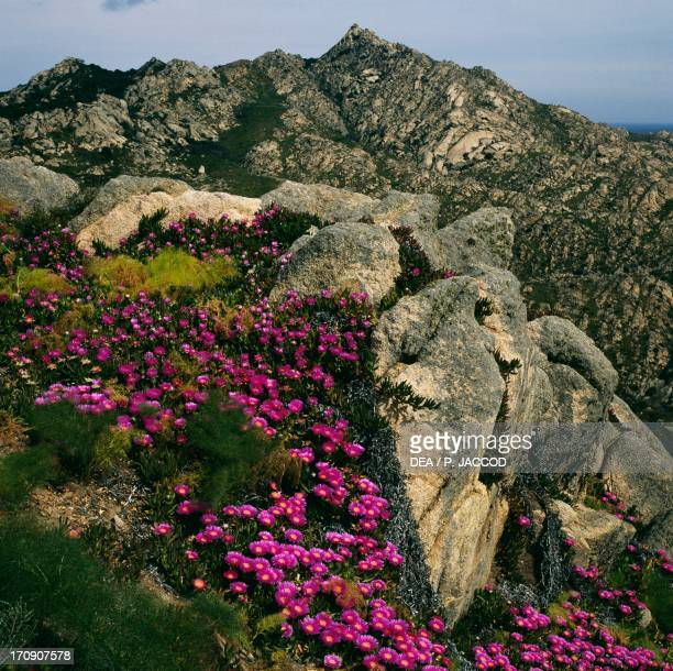 Elands Sourfig Caprera Island La Maddalena Archipelago National Park Sardinia Italy