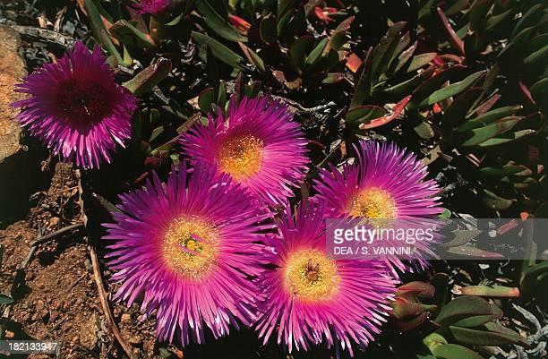 Elands sourfig Elandssuurvy or Sallymyhandsome Aizoaceae Gulf of Girolata Corsica France
