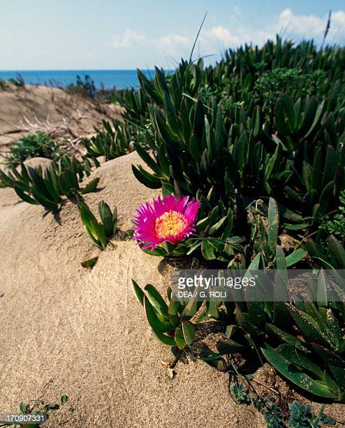 Elands Sourfig on a coastal dune National Park of Circeo Lazio Italy