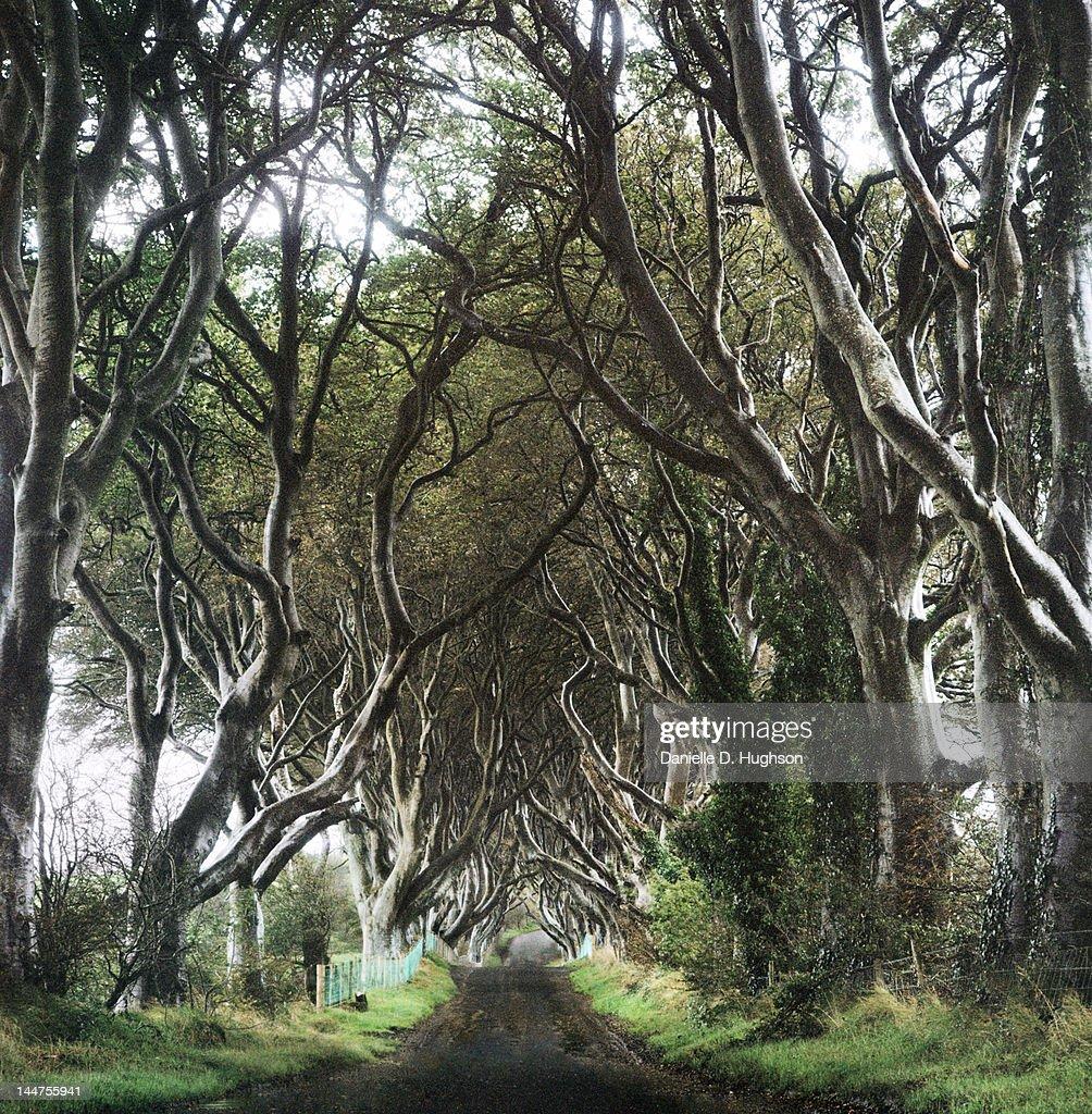 Elder trees : Stock Photo
