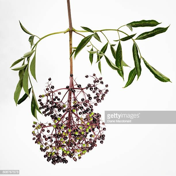 Elderberries, some ripe and some ripening
