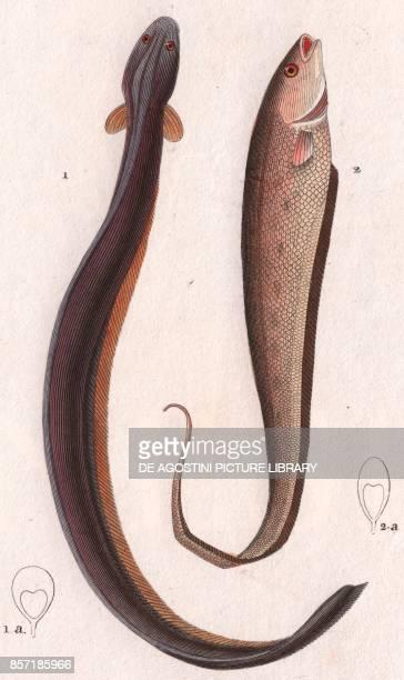 1 Electric eel 2 Banded knifefish colour copper engraving retouched in watercolour 9x15 cm from Dizionario delle scienze naturali compilato da vari...