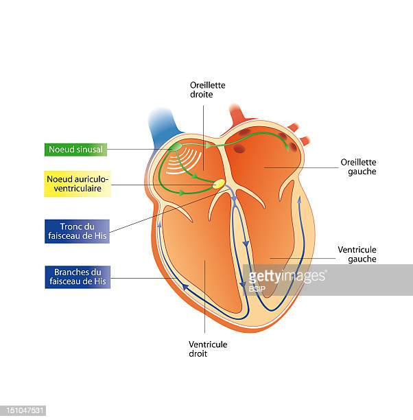 Electrical Activity Of The Heart Sinus Node At The Top Of The Right Atrium In Green Auriculoventricular Node Between The Right Atrium And The Right...