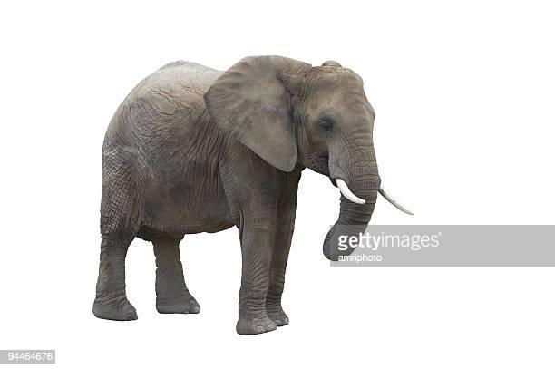 elefant isolé sur blanc avec un Tracé de détourage