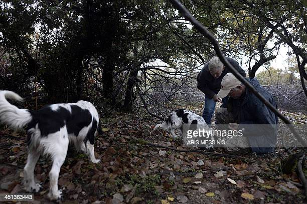 Eleftheria Tziatziou her colleague Vassilis Goulandas and their hunting dogs look for truffles in the Mount Olympus forest on November 14 2013 One...