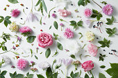 elegant background of pink roses and leaves isolated on white
