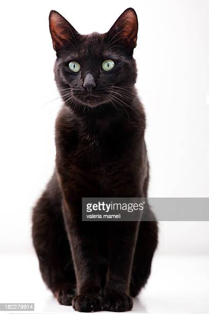 Elegant black cat