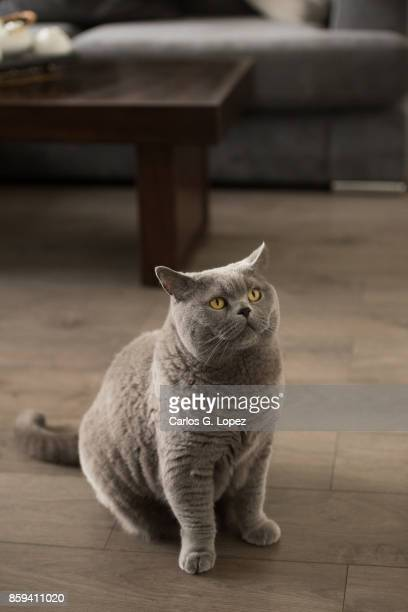 Elegant British Short hair cat sitting and looking up waiting to be fed