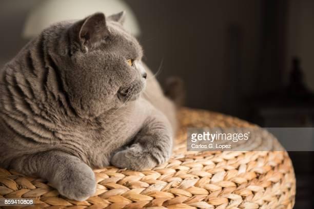 Elegant British Short Hair cat sitting lying on wicker stool looking away