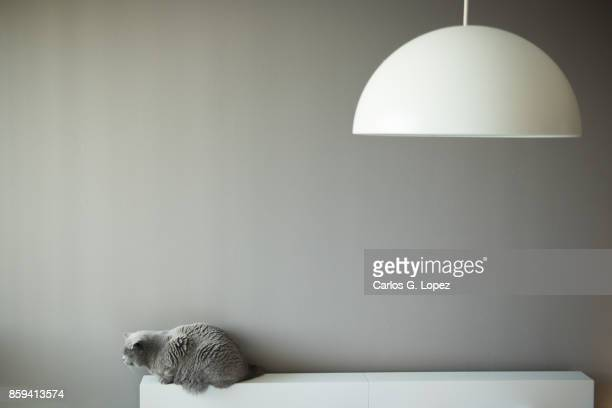 Elegant British Short Hair cat sitting on bed headboard near round lamp