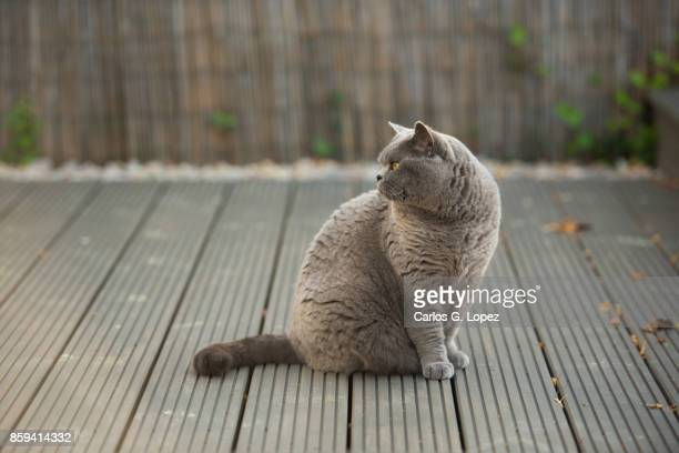 Elegant British Short Hair cat sitting on garden deck looking back