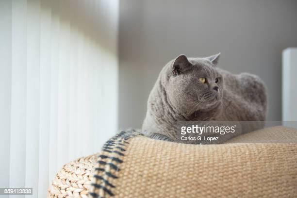 Elegant British Short Hair cat sitting on rug over wicker stool