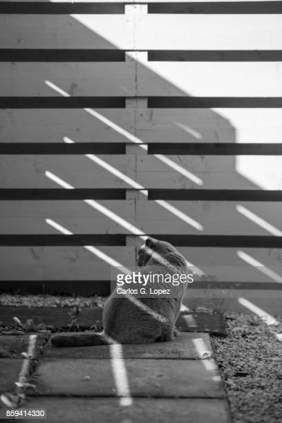 Elegant British Short Hair cat sitting on shade by a fence