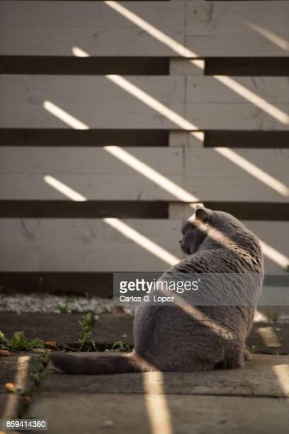 Elegant British Short Hair cat sitting on shade by wooden fence