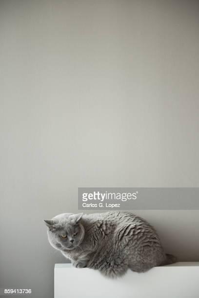 Elegant British Short Hair cat sitting on white bed headboard