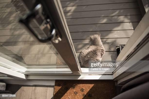 Elegant British Short Hair cat sitting outside patio door on garden