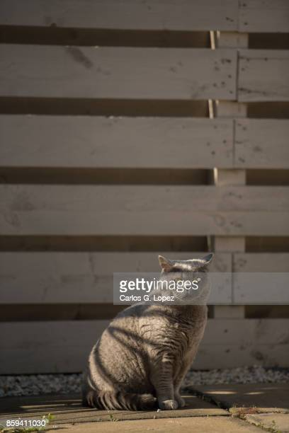Elegant British Short hair cat under the shade cast by wooden fence