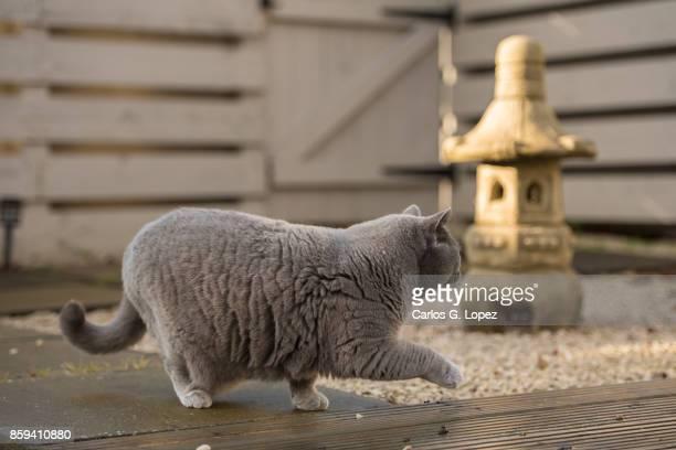 Elegant British Short hair cat walking near stone pagoda on zen garden