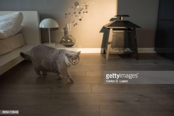 Elegant British Short Hair cat walking on modern bedroom interior