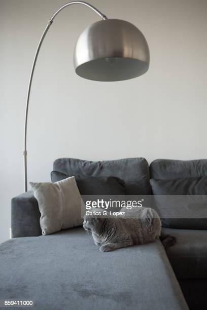 Elegant British Short hair lying on couch under lamp
