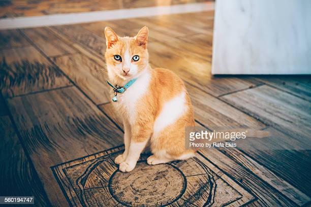 Elegant cat with bell