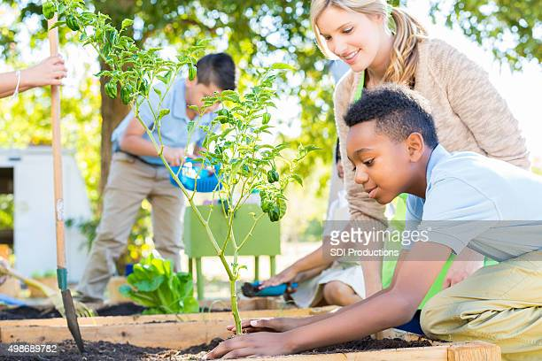 Elementary school boy planting vegetable plant in school garden