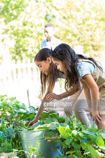 Elementary school girls picking vegetables from school garden
