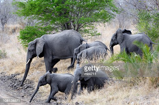 Elephant 5, one of the big five : Stock Photo