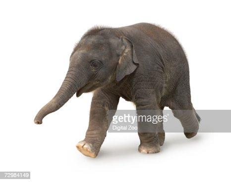 Elephant against white background