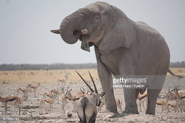 Elephant Among Antelopes