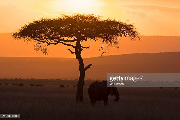 Elephant and acacia