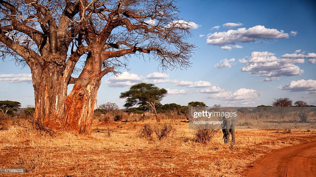 Elephant and Baobab tree in Tanzania : Stock Photo
