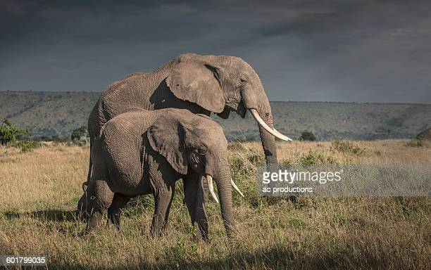 Elephant and calf grazing in savanna field