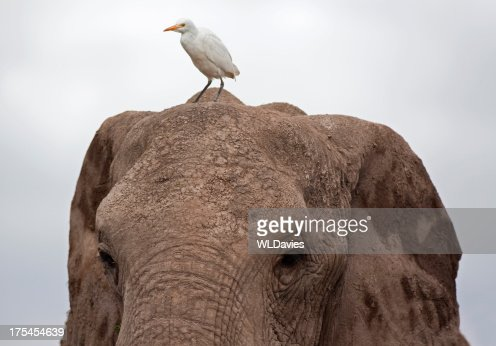 Elephant and Great Egret