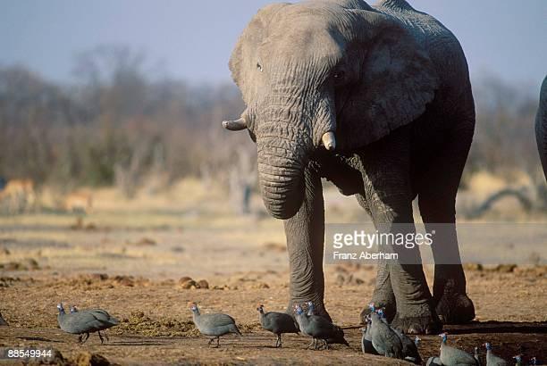 Elephant and Helmeted Guineafowl, Chobe National Park, Botswana
