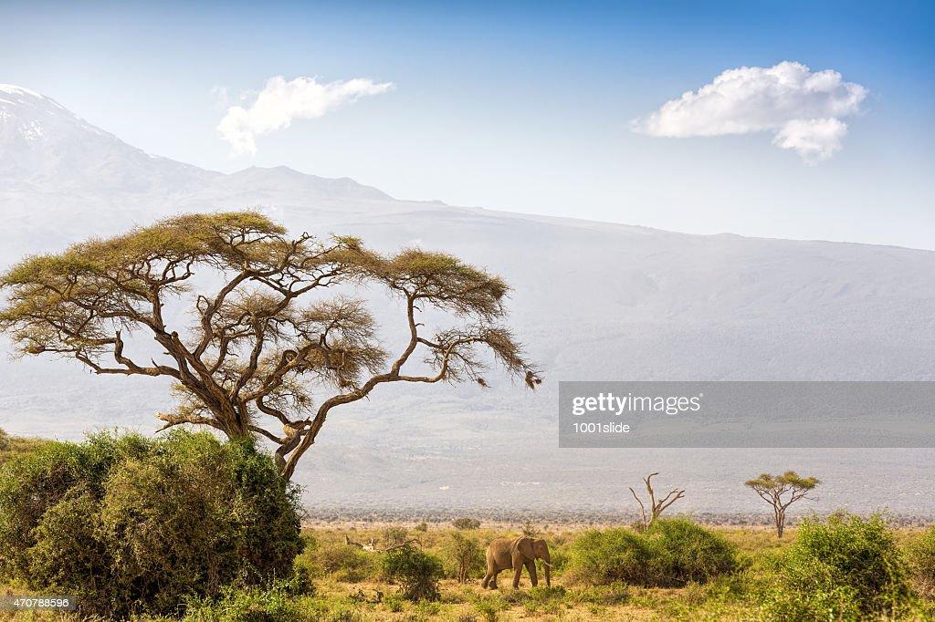 Elephant and Mount Kilimanjaro with Acacia