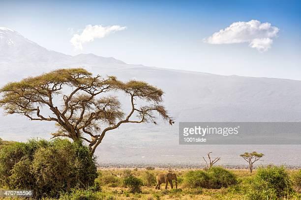 Éléphant et le mont Kilimandjaro d'Acacia