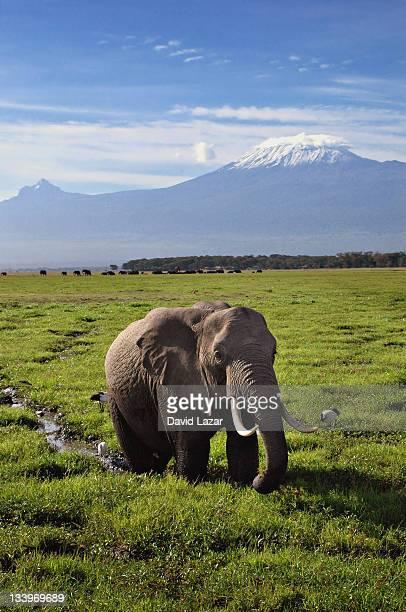 Elephant and Mt Kilamanjaro
