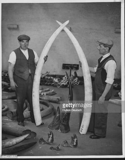 Elephant and rhino tusks are sorted in a warehouse at St Katherine's Dock