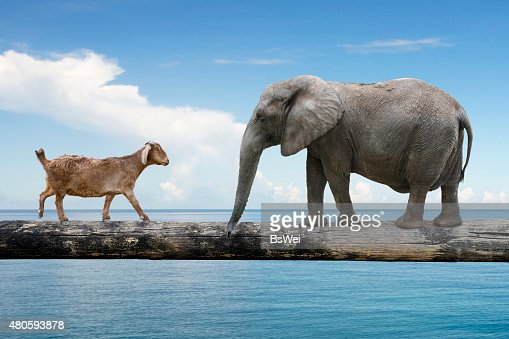 Elephant and sheep walking over the single wooden bridge : Stock Photo
