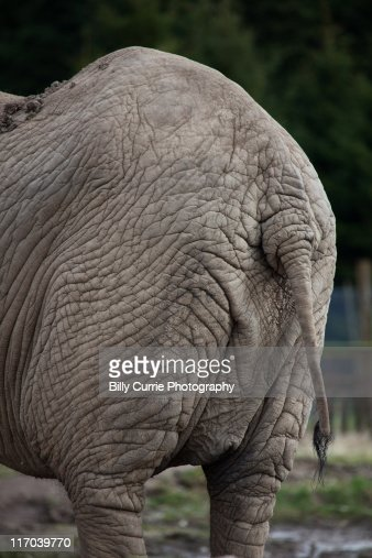 Elephant ass stock photos and pictures getty images - Elephant assis ...