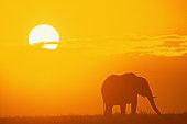 Elephant at sunset, Kenya