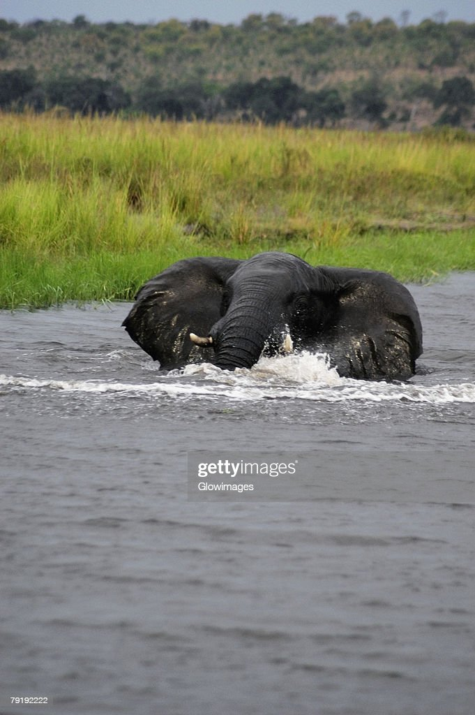 Elephant bathing in a river, Chobe National Park, Botswana : Stock Photo