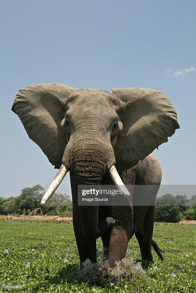 Elephant bull in mock charge, Mana Pools, Zimbabwe : Stock Photo