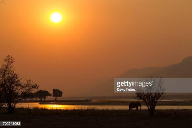 Elephant (Loxodonta africana) by Zambezi river at sunset, Mana Pools National Park, Zimbabwe