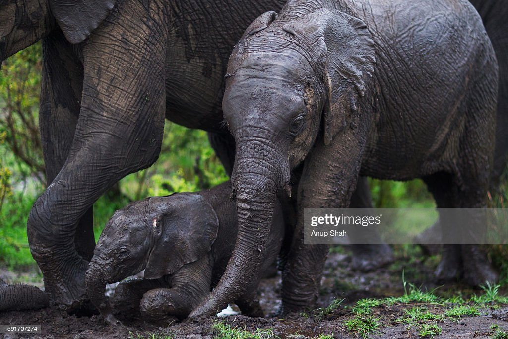 Elephant calves wallowing in mud