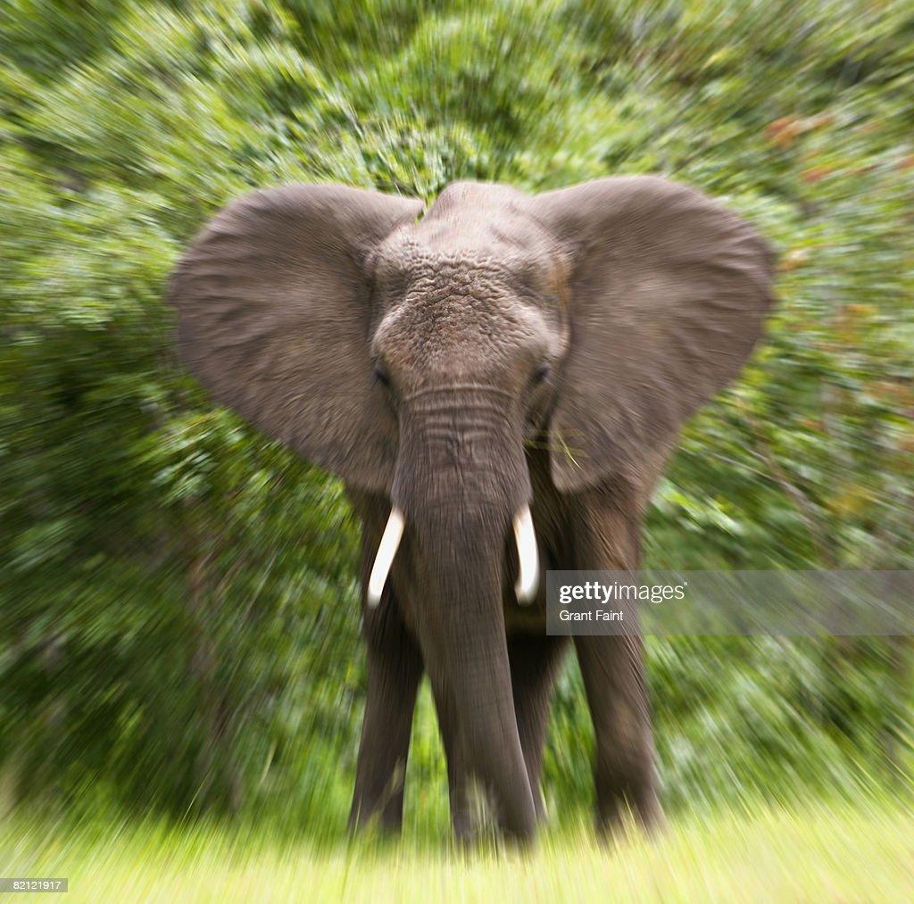 elephant charging  : Stock Photo