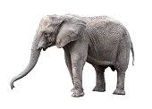 Elephant close up. Big grey walking elephant isolated on white background. Standing elephant full length close up. Female Asian elephant.