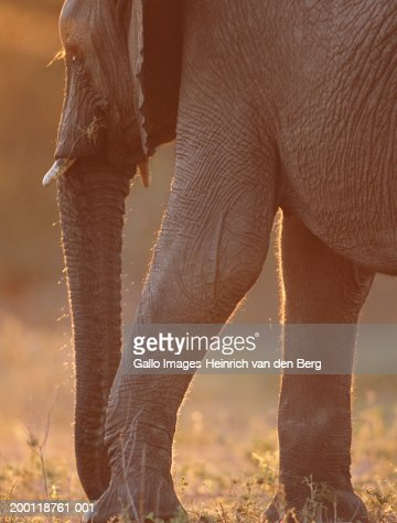 Elephant (Loxodonta africana) close-up : Stock Photo